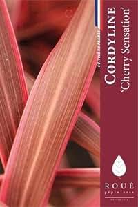 Cordyline 'Cherry Sensation'