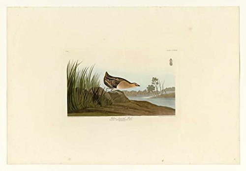 der Museum Steckdose Audubon (– Yellow-Breasted Rail–Teller 329–Leinwanddruck Online kaufen (152,4x 203,2cm) (80 Yellow Tinte)