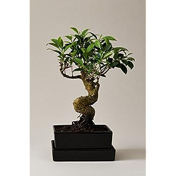 Bonsai Feige | Ficus Taiwan | mit Schale und Untersetzer als Tischdeko in Erde | Feigenbaum | EVRGREEN