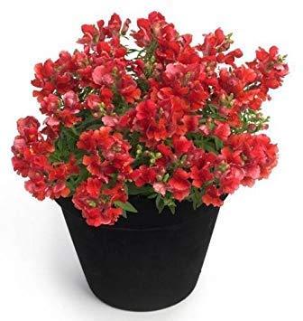 . semi di fiore: semi snapdragon impianto per il balcone giardino [semi di giardino domestiche eco confezione] pianta semi
