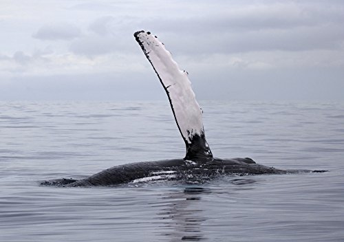 M Swiet Productions/Design Pics - Hawaii Maui The Pectoral Fin of A Humpback Whale. Photo Print (45,72 x 33,02 cm) -
