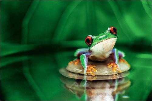 huge-laminated-encapsulated-red-eyed-tree-frog-poster-measures-approx-36x24-inches-915x61cm