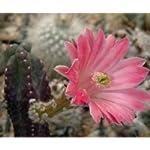 Echinocereus gentryi seeds