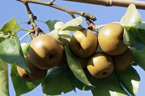 Keland Garten - Japan Raritäten Nashi/Asienbirne/Asiatische Apfelbirne reichtragend insektenfreundlich, 30pcs Obstsamen Baumsamen winterhart mehrjährig -