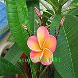 Große Förderung DIY Hausgarten Pflanze 100Seeds Mix-Color Echt Frische Plumeria Rubra Frangipani Lilavadee Blumen-Baum-Samen-freies Shi