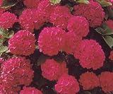 Bauernhortensie Masja - (Hydrangea macrophylla 'Masja') Containerware 30-50 cm