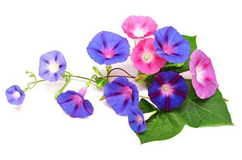 RWS Noble liseron liseron mélange 10 graines Ipomea semences grandes fleurs soyeuses