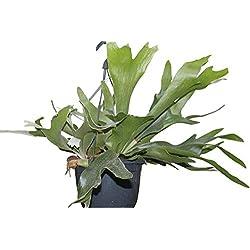 Zimmerpflanze - Platycerium bifurcatum - Geweihfarn - kommt in einem Hängetopf mit 18cm Durchmesser und wird etwa 50cm breit
