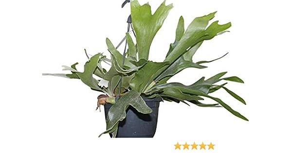 1 Platycerium bifurcatum Staghorn Fern Sent in 9cm pots