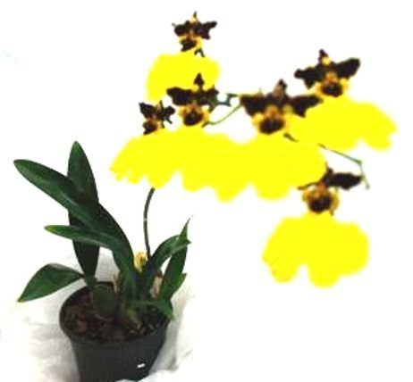 Mühlan Orchideen 1958