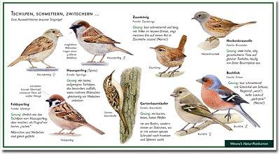 Spatz & Co – Tschilpen, Schmettern, Zwitschern – Wawra Naturpostkarte zum Entdecken, Beobachten, Bestimmen – 22 cm x 12 cm