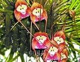 seltene Orchidee Samen, Schöne Affe Gesicht Orchideen Samen, mehrere Sorten Bonsai Samen 100 Stück / Pack