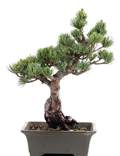 Bonsai – Pinus Parviflora, Mädchenkiefer 198/53