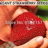 Shopmeeko 500 / bag große erdbeerpflanze leckere obstpflanze super riesen erdbeer sprießen 95%