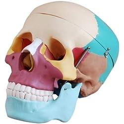 Bestdental - Anatomía anatómica de calavera humana con forma de esqueleto y huesos de colores