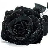 #7: Azalea Garden Rare Exotic Rose Flower Live Plant - Black Beauty Rose ( 1 Live Plant)