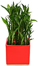 Exotic Green Bamboo In Ceramic Pot Plant Red Pot