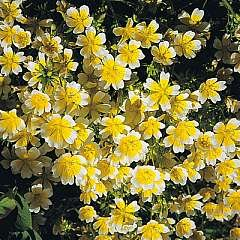 poached-egg-plant-limnanthes-douglasii-30-seeds