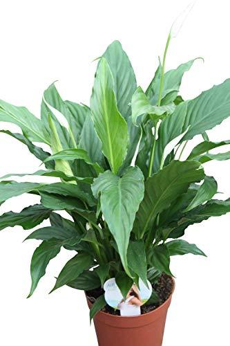 Olive Grove Spathyphyllum O Giglio Della Pace Pianta Da Interni