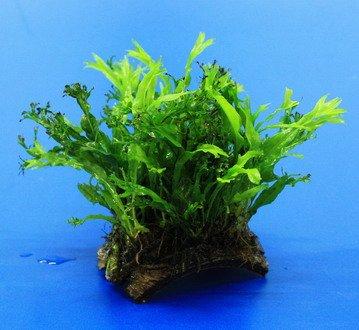 WFW wasserflora Mini Kokosnuss-Brücke mit Javafarn WINDELOV/Microsorum pteropus Windelov