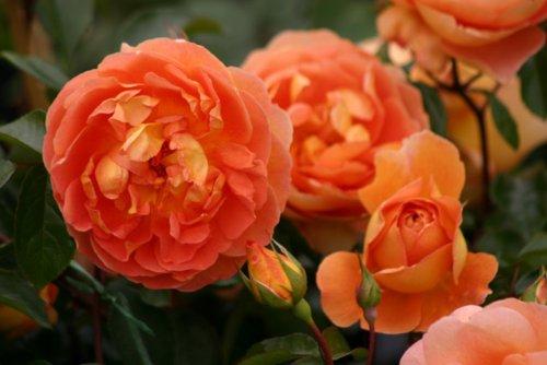 Pat Austin® - Container Rose im 5 ltr. Topf