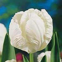 20 Bulbi di Tulipano - ALTA QUALITA' OLANDESE (WHITE PARROT Pappagallo Bianco)