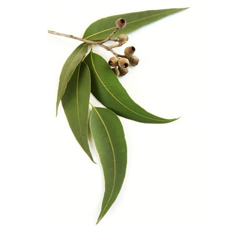 Janilec BLL821-05 Eucalyptus Globulus Essential Oil, 500 mL Volume
