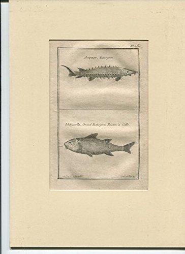 Fische Accipenser , Esturgeon - Ichthyocolla - Kupferstich
