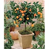 Citris Mitis Calamondin-miniatura Orange Tree 25 semillas