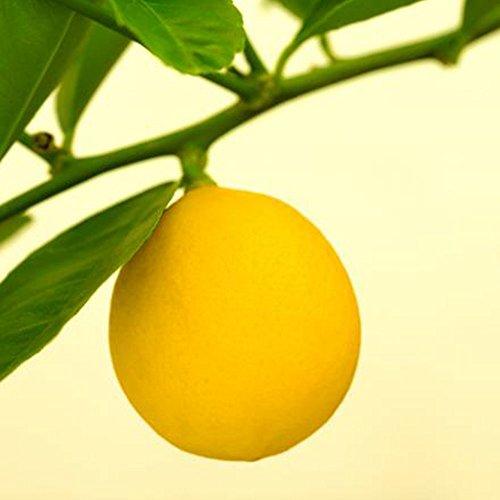 BigFamily Graines de graines de citron Mini 10Pcs Bonsaï Accueil Bio