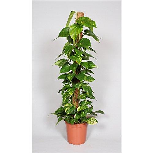 Blumen-Senf Efeutute am Moosstab 120 -140 cm / Topf Ø 24 cm / Epipremnum aureum / Zimmerpflanzen / rankend / Ampelpflanzen