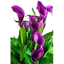 vegherb 3: Calla Lily Flower Seed Printemps et en Hiver Saisons Set d'une Piscine intérieure Plante en Pot Semence Plantation en direct-100 graines 3