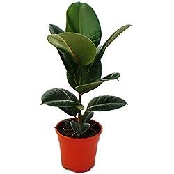 """Gummibaum - Ficus elastica """"Robusta"""" - 17cm Topf"""
