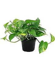 Leafytales Indoor Pothos Green Money Plant in Plastic Pot