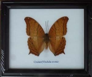 Véritable Papillon CRUISER Collection Présentoir mural Cadre de taxidermie
