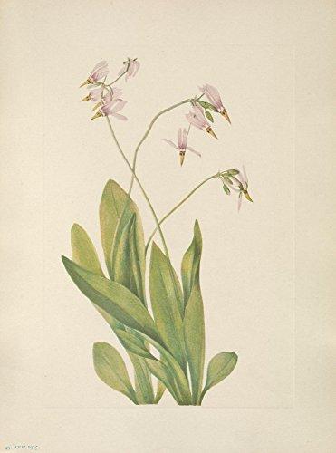 Mary V. Walcott – N. American Wild Flowers 1925 Shootingstar Kunstdruck (60,96 x 91,44 cm)