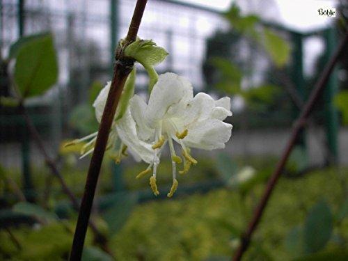 Winter-Heckenkirsche – Duft-Heckenkirsche – Lonicera purpusii – stark duftend (30-40)