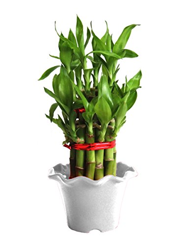 Rolling Nature 2 Layer Long Stalks Lucky Bamboo in White Blossom Pot  available at amazon for Rs.279