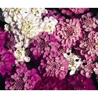 kings-seeds-candytuft-spangles