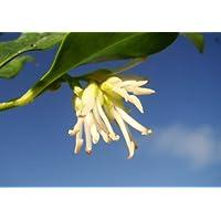 Piante da giardino profumata Inverno Fioritura Sarcococca confusa arbusti, regalo di natale