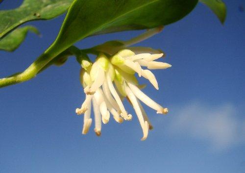 exterieur-jardin-plante-parfumee-fleurs-dhiver-sarcococca-confusa-boite-noel-arbuste