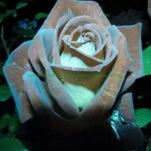 Bloom Green Co. bonsaïs 150 pcs/paquet Rainbow Rose Holland Flower amant cadeau RARE 25 exotiques couleurs au choix jardin d'accueil: 10