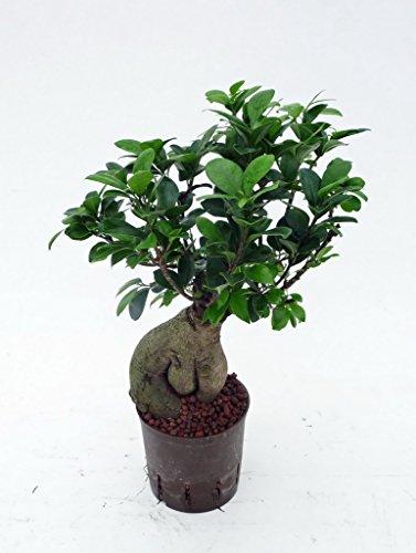 Ficus Ginseng, Ficus microcarpa Bonsai, Zimmerpflanze in Hydrokultur, 13/12er Kulturtopf, 30 - 40 cm