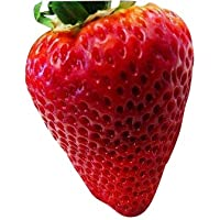 Riesen Erdbeere -Packung- (Gigantisch Große Erdbeeren , die größten der Welt) 20 Samen