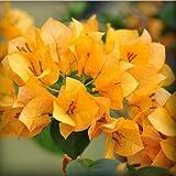 Heißer Verkaufs-9 Arten von Farben Bougainvillea spectabilis Willd kann sein wählen Perennial Bonsai-Pflanzen-Blume Bougainvillea Seed 120PCS