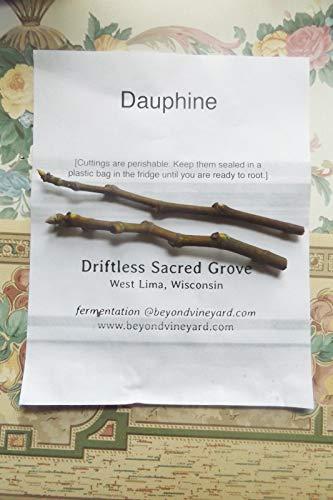 PLAT FIRM GERMINATIONSAMEN: DAUPHINE - 2 ruhend Feigen Stecklinge