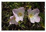 Premier Seeds Direct OEN01, semi di enotera o primula della sera - Oenothera Speciosa - confezione da 1000