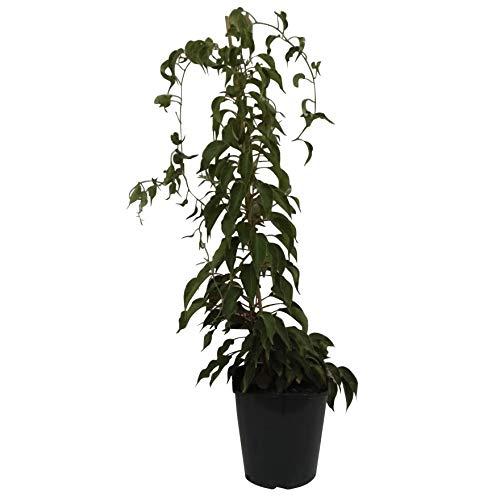 Müllers Grüner Garten Shop Kiwi Issai kräftige Kiwipflanze Actinidia arguta selbstfruchtbar stachelbeergroß 60-100 cm 3 Liter Topf