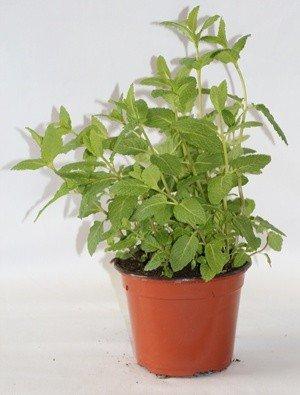 Hierbabuena (Maceta 10,5 cm Ø) - Planta viva - Planta aromatica