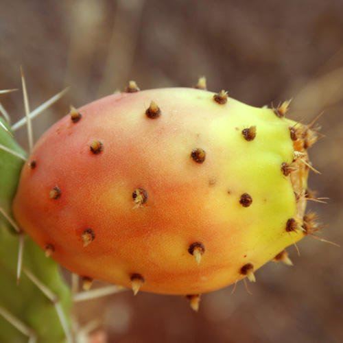 opuntia-ficus-indica-seeds